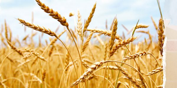 BENEO factsheet vital wheat gluten protein bread
