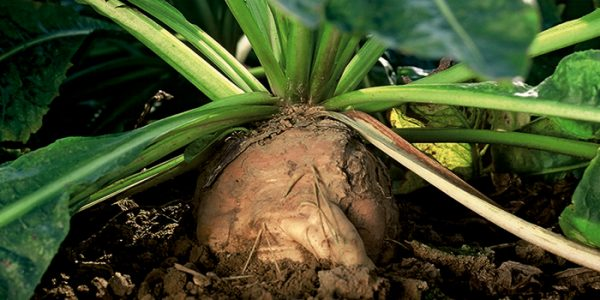 BENEO produces organic inulin from chicory roots