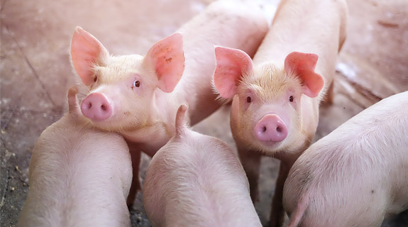 Nutricion animal pienco para cerdos