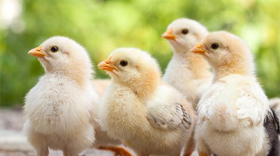 BENEO Tiernahrung gefugelfutter