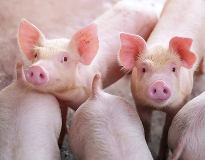 Natural ingredients for improved processing in pig feed